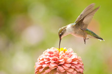 Juvenile Male Hummingbird Hovering, Feeding On A Pink Flower