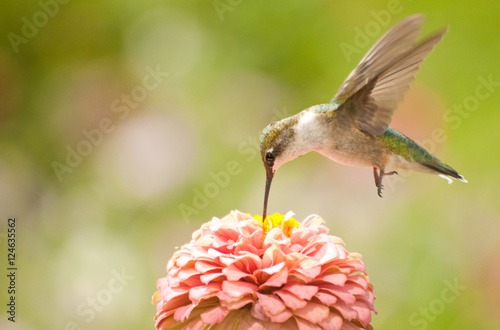 Fotografía  Juvenile male Hummingbird hovering, feeding on a pink flower
