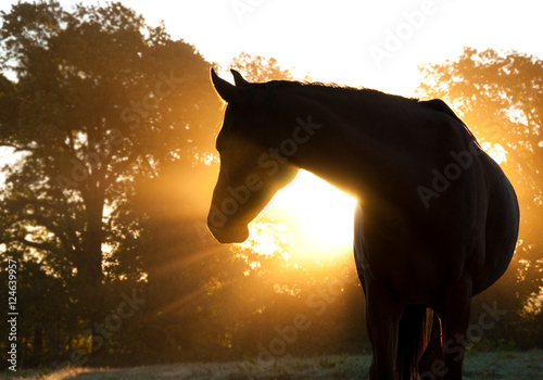 Poster Bomen Beautiful Arabian horse silhouette against morning sun shining through haze and trees