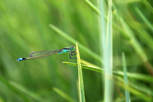 Very Nice Blue Green Dragonfly Closeup, Laguna Mejia Peru