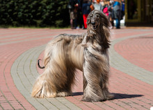 Afghan Hound Waits.  The Afghan Hound Is In The Park.