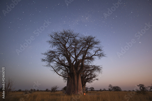 Baobab's under the stars in blue hour