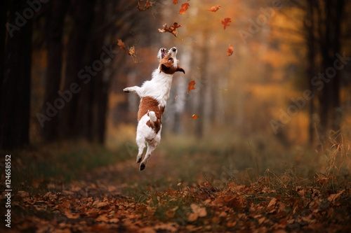 Poster Chien Dog Jack Russell Terrier jump over the leaves