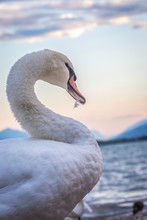 White Swan, Side View With Cur...