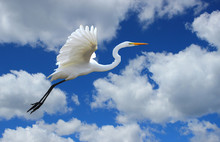 Great Egret Flying In The Clouds