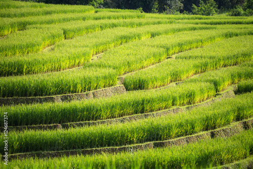 Papiers peints Morning Glory rice field scenery in Thailand