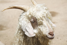 Close Up Head Of Angora Goat