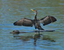 Cormorants Wings Spread