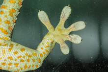 Fingers Of Gecko On Glass - Va...