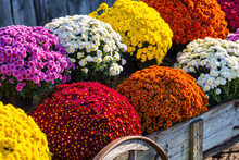 Vivid Mums In Farm Wagon