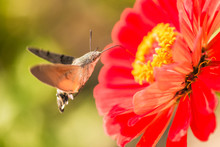 Hummingbird Hawk Moth (Macroglossum Stellatarum) Sucking Nectar From Red Flower.