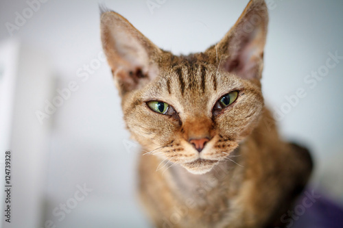 Photo  Devon Rex purebred domestic cat