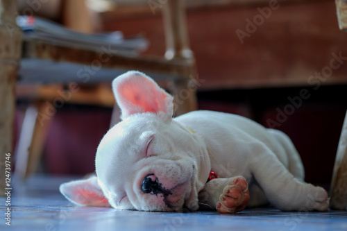 Deurstickers Franse bulldog Young french bulldog white sleeping on the floor.