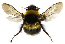 The Garden Bumblebee On White ...