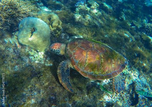 Green sea turtle close photo in ocean lagoon. Sea turtle eating seaweed. #124779773