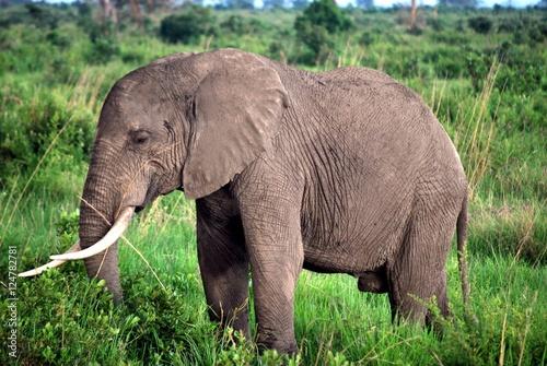 Fotografie, Obraz  Elephant isolated