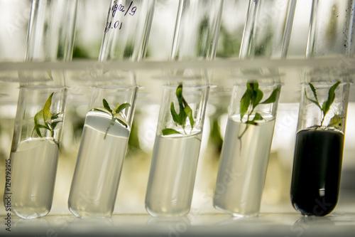 Fotografía  microplants of poplar in vitro