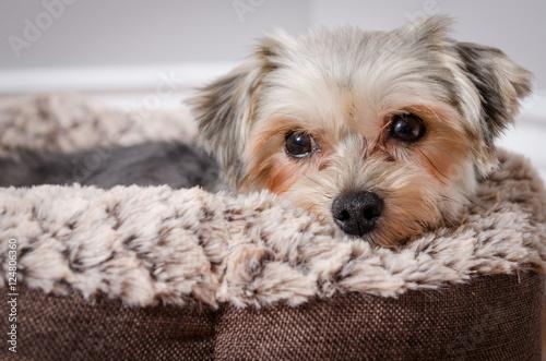 Naklejki psy  calm-morkie-lying-in-a-dog-cushion