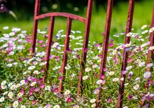 Many White And Purple Daisies Growing Around A Rusty Metal Gate In A Suburban Garden Setting On A Sunny Day With Intentional Shallow Depth Of Field