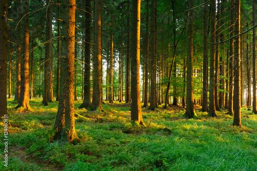 Fototapeten Wald Spruce Tree Forest in the Warm Light of the Setting Sun