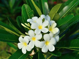 Obraz na płótnie Canvas white frangipani  flower