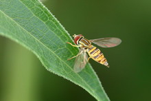 Hover Fly On A Leaf.
