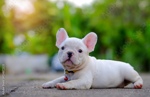 Türaufkleber Französisch bulldog Dog obesity,Young french bulldog white Playing on the cement flo