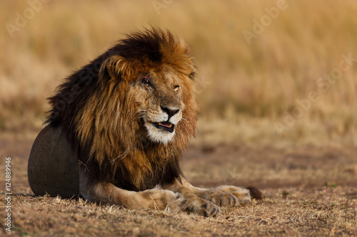 Photo  Big Lion Scarface, one of the four musketeers, in Masai Mara, Kenya