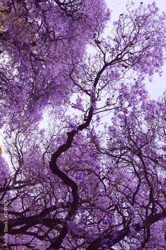 Foto op Canvas Zwart Beautiful blooming violet branches of Jacaranda. Brooklyn. Pretoria. Spring in South Africa. Artistic retouching.