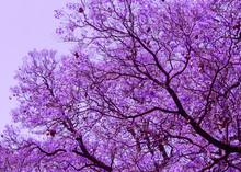 Beautiful  Blooming Violet Bra...