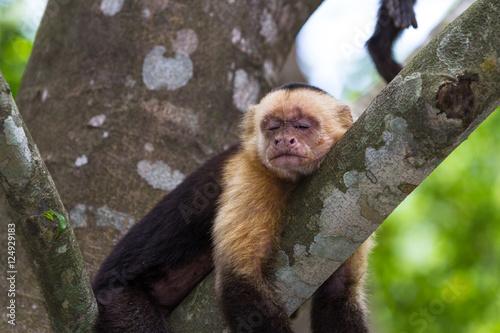 Fotografie, Obraz  white headed capuchin -  Cebus capucinus - Pura Vida