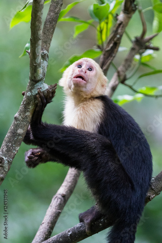 Valokuva  white headed capuchin monkey