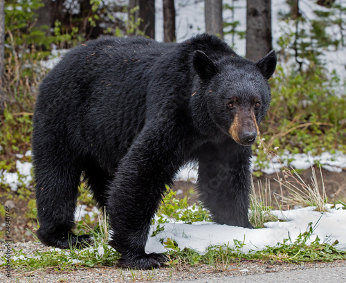 American Black Bear - male