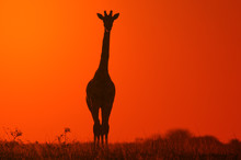 Giraffe - African Wildlife Background - Golden Bliss In Nature