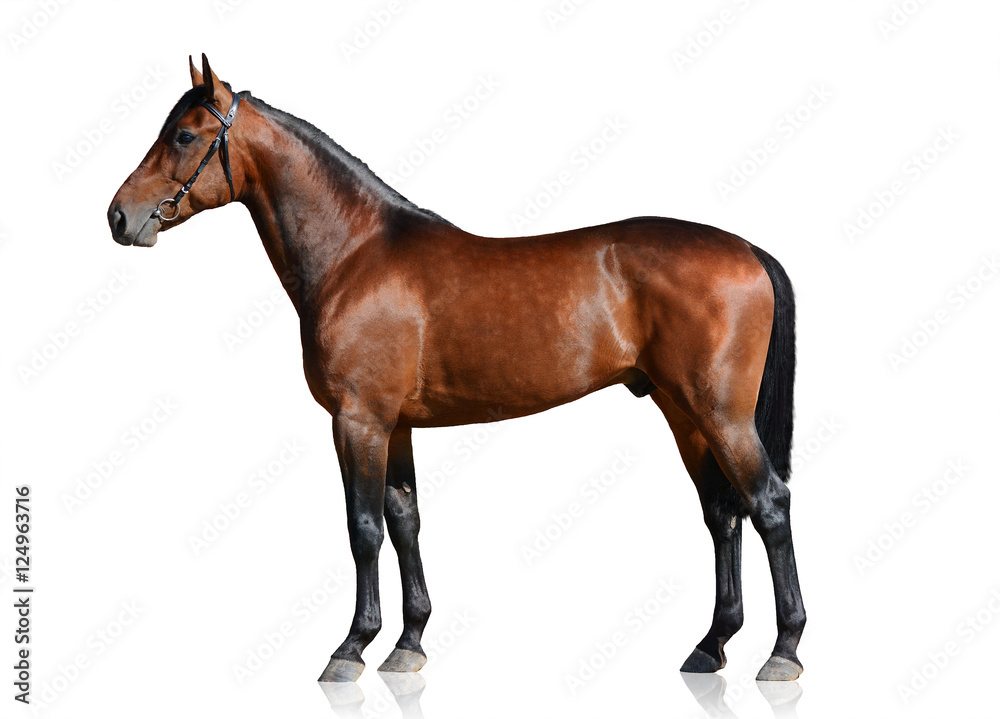 Fototapety, obrazy: Bay sport horse isolated on white background