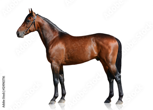 In de dag Paarden Bay sport horse isolated on white background