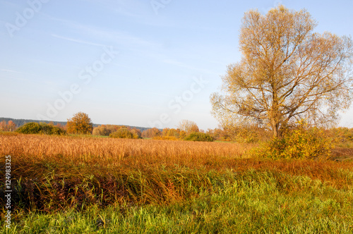 Foto op Canvas Herfst Fall lawn oak stands with gold leaves