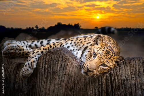 Photo sur Aluminium Leopard Leopard