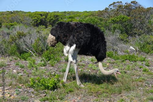 Staande foto Struisvogel Autruche Afrique du Sud Cape Point