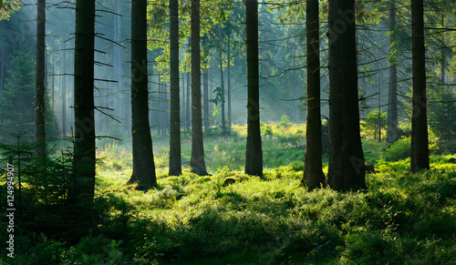 Fototapeten Wald Unberührter nebliger naturnaher Fichtenwald im Gegenlicht