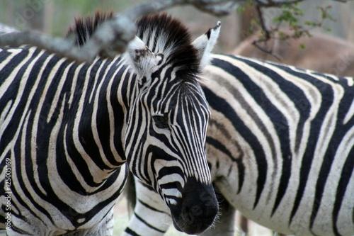 In de dag Bleke violet zebra's head in the savanna - south Africa