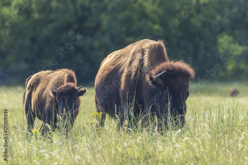 Keuken foto achterwand Buffel Buffalo In South Dakota's Black Hills