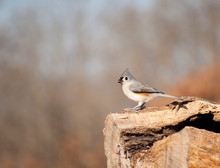 Tufted Titmouse Perched On A L...