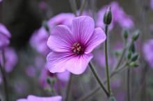 Purple Cranesbill Geranium Flower Blossom In A Garden