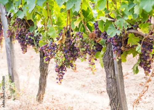 Spoed Foto op Canvas Wijngaard Bunches of cabernet sauvignon grapes growing in a vineyard in Bo
