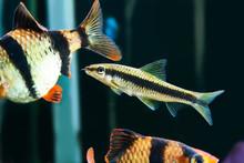 Aquarium Fishes - Barbus Puntius Tetrazona And Siamese Algae