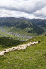 Fototapeta na wymiar Flock of goats and sheep in Alps mountains, Livigno, Italy