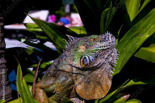 Poster Chamaleon Iguana from Mexico Profile