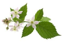 Blossom Blackberry On White