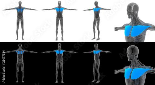 Fotografie, Tablou  3D render illustration of the pectoralis major